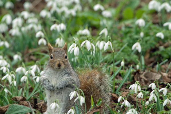 MALCOLM MORRIS - Snowdrop Squirrel