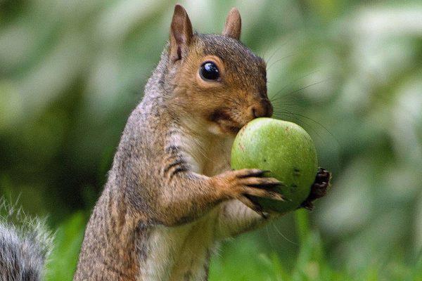 grey squirrel 3
